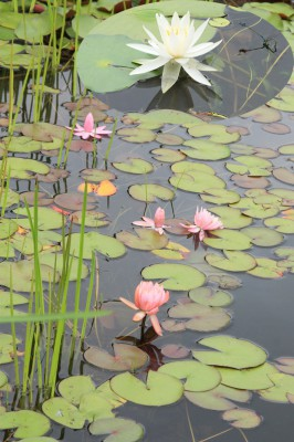滑川町、武蔵丘陵森林公園「雅の広場」の池で赤、白、黄色と何色ものスイレンがきれいに咲いています。(小山芳男通信員)