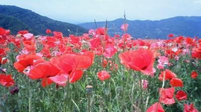皆野町秩父高原牧場のポピー。3.5ヘクタールに約1000万本が植えられているそうです。