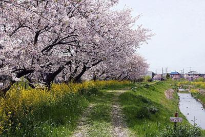 上里町の桜=2010年4月13日