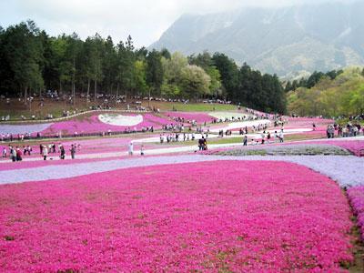羊山の芝桜