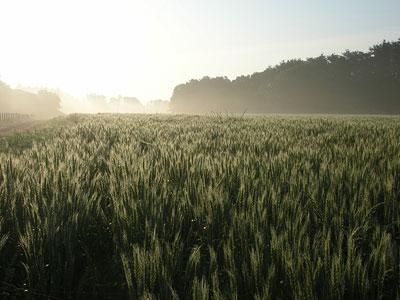 飯能市、麦畑